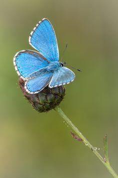 Himmelblauer Bläuling, Polyommatus bellargus.jpg