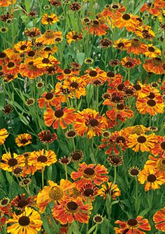 Helenium 'Waldtraut' Copper yellow through orange and bronze flower heads with a brownish centre, from July to September. Mid green foliage. Height 70cm. Spread 60cm.