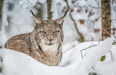 Snowy Lynx by Eva Lechner - Photo 136472577 - 500px