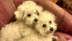 Baltazar y trufa mis hermosos perros bichones frise