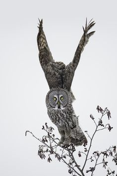 And Away We Go - Great Grey Owl