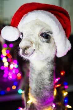 Mr. Llama trying to get in the Christmas spirit, for Sara