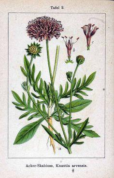 Beemdkroon.149525 Knautia arvensis (L.) Coult. / Sturm, J., Krause, E.H.L., Lutz, K.G…