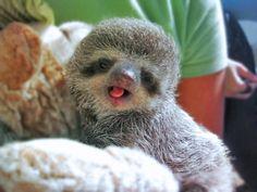Cute baby sloth!!