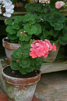 """PASHLEY MANOR GARDENS"" by Mijkra on Flickr - Beautiful potted geraniums"