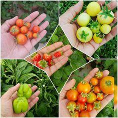 【master2060】さんのInstagramをピンしています。 《Remember the beautiful days  #gardenofthegods #gardening #besil #green #greenhouse #cheers #cherries #cherryblossoms #tomatoes #tomato #potatos #potato #garlic #garlicbread #garlicsauce #garden #tree #melon #watermelon #besil #plant #plants #mint #mints #berry #straw #figs #flowers #farm》