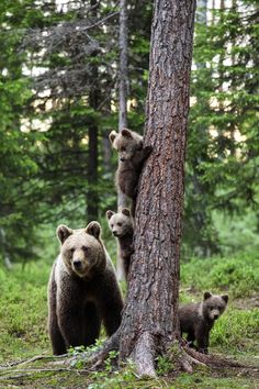 Family Portrait by corradomariani - All About Bears Photo Contest Ours Grizzly, Animals Beautiful, Cute Animals, Mother And Baby Animals, Alaska, Bear Photos, Love Bear, All Nature, Bear Cubs