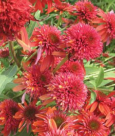 Double Scoop Orangeberry PPAF Echinacea Seeds - Perennial Flowers Seeds and Plants at Burpee.com