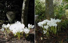 Scottish Rock Garden Club - >Bulb Log Colchicum