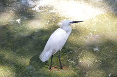 Little Egret at Giza Zoo by Hatem Moushir 6 - Categorie: garzetta - Wikimedia Commons