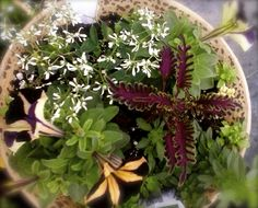 Petunias with coleus and Diamond Frost Combo! Full sun annual mix planter