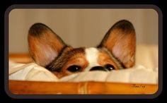 Peek-A-Boo Corgi (Part 3) - Cooper, a Pembroke Welsh Corgi | Flickr - Photo Sharing! by Tina Garrison