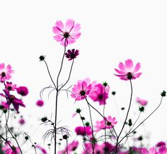 cosmos By * Yumi Flowers Cosmos, Watercolor Rose, Garden Trees, Flower Photos, Botanical Art, Mother Nature, Pink Flowers, Flower Power, Planting Flowers