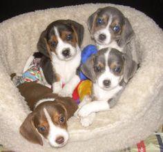 Interesting Beagle Friendly Loyal And Loving Ideas. Glorious Beagle Friendly Loyal And Loving Ideas. Cute Puppies, Cute Dogs, Dogs And Puppies, Doggies, Black Beagle, Miniature Beagle, Animals And Pets, Cute Animals, Baby Animals