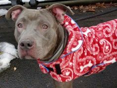 GONE - BE AT PEACE  1/4/14 Manhattan Center -P MAJOR  A0987459 Male gray & wht pit mix 3 YRS. STRAY 12/15/13 Easily leashed,wagging his tail.  Likely housetrained, affectionate, wants to please. Thin, and has a couple of spots of alopecia, can be taken care of w/ good nutrition. Allows handling and is alert, intelligent and smart. An active person's dream dog - he will never say no to a long walk, a hike, running free in acres of land. The most amiable and loyal pet you'll ever have.