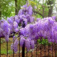 The Blue Moon Wisteria -- finally! a wisteria that is bred for zone 4. Prolific bloomer -- 3 times a year. You can prune it as a vine or as a tree.  http://www.waysidegardens.com/blue-moon-wisteria/p/v1198/