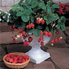 Alpine strawberries are supposed to be best for growing indoors. Alpine strawberries are supposed to be best for growing indoors. Strawberry Garden, Strawberry Plants, Fruit Garden, Edible Garden, Vegetable Garden, Garden Plants, House Plants, Indoor Garden, Indoor Plants