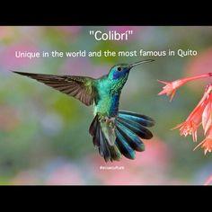 """""""Beautiful birds of which you can enjoy on the best of the world"""" Beautiful Birds, Beautiful Gardens, Creatures, Mindo Ecuador, Quito Ecuador, Hummingbirds, Green, Travel, Animals"""