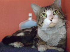 Neutered Male2 YearsBrown Tabby and WhiteDomestic Short HairA291968More About Me: I lived on the streets and a nice person brought me here. I am very handsome, but I am more than my good looks! I am a laidback kitty who enjoys sharing affection....