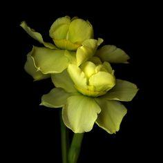 C'EST FOU... Narcissus by Magda Indigo on 500px