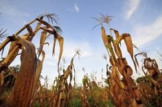 Climate change will reduce maize yields unless breeding and seed systems adapt immediately