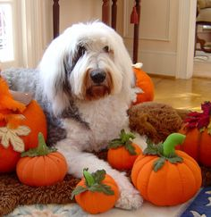What A Good Boy:  Old English Sheepdog Named Oliver