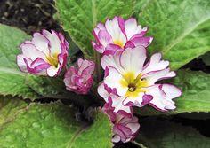 Esikot ovat perinnepihojen kasveja, joiden kukkien värikirjo ulottuu valkoisesta keltaiseen, oranssiin, punaiseen ja violettiin. Lue lisää Viherpihasta ja kokeile!