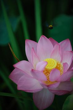 Pink Lotus Flower (Nelumbo nucifera)  Researchers report that the lotus has the remarkable ability to regulate the temperature of its flowers to within a narrow range just as humans and other warmblooded animals do.