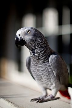 african grey parrot -(photo by peri apex)   ...........click here to find out more  http://1.googydog.com