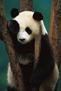 PEOPLE-PLACES-THINGS-ETC — wolverxne: Giant Panda - by: Cyril Russo