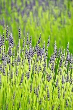 Endless fields of Lavender in Sequim, WA by Anu.