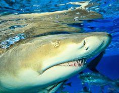 LEMON SHARKY