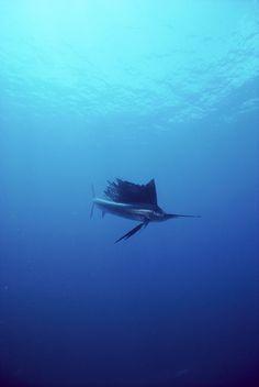 Pacific Sailfish (Istiophorus platypterus) underwater, fastest fish, 68 miles per hour, Sea of Cortez, Baja California, Mexico by Norbert Wu