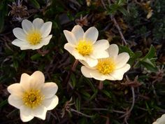 Mountain Avens - Arctic National Wildlife Refuge, Alaska