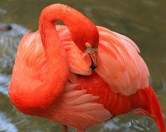 Flamingo Portrait! Beautiful capture by Larry Nieland