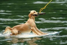 SO CUTE i didnt know dogs like wakeboarding 2!! this pin just put together 2 of my favorite things!!!!!