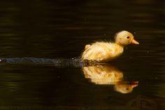 duck race- the sequel