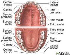Lesson 4-Teeth - Oral Cavity Anatomy - InfoBarrel Images