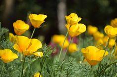 Amapola amarilla, elegante y a la vez sencilla