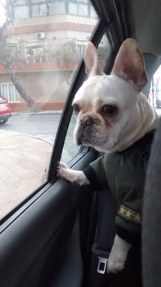 """Are we there yet?"", Simona, the anxious French Bulldog"