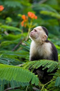 Capuchin Monkey in Its Native Habitat,  Protected Rain Forest in Costa Rica  . . . .  <3