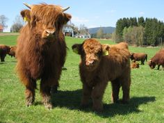 highland cattle, OK THEY AREN'T ANGUS... BUT THE BABIES ARE SOOO CUTE!!!