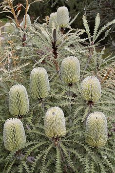 Shade Garden Flowers And Decor Ideas Banksia Speciosa Australian Native Garden, Australian Native Flowers, Australian Plants, Unusual Flowers, Beautiful Flowers, Shade Garden, Garden Plants, Australian Wildflowers, Drought Tolerant Plants