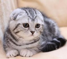 Daniel and I will have a Scottish Fold cat one day...They are soooooo darn cute!