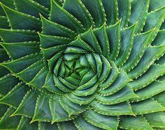 Aeonium tabuliforme suculento plato 25 semillas por SmartSeeds