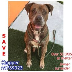 FLORIDA - TO BE KILLED - 9/18/16 - MIAMI-DADE AN. SVCES, DORAL, FL. -CODE RED**\r\n\r\nI was surrendered by my owner & have been at the shelter…