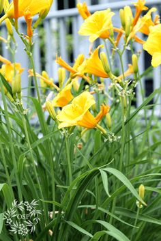 Daylily ~ hardy perennial Stella D'oro