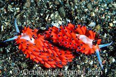 Like a fashion show, each nudibranch is astonishing, yet a bit amusing too...fabulous!
