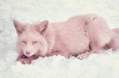 miko, champagne pink fox source: awwww-cute