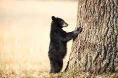 Black bear cub clinging to the side of a tree